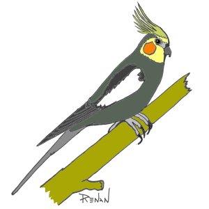 Les oiseaux en fiches coloriages photos et dessins avec pouyo - Dessin calopsitte ...