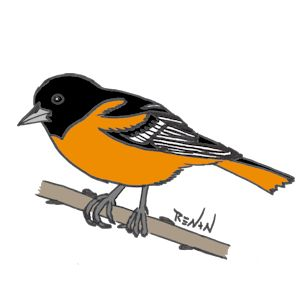 coloriage d'oriole de Baltimore