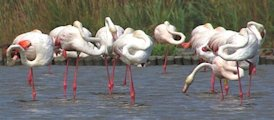 photo de Flamants roses publi�e dans Pouyo n�46